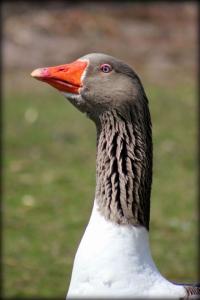 wp-goose